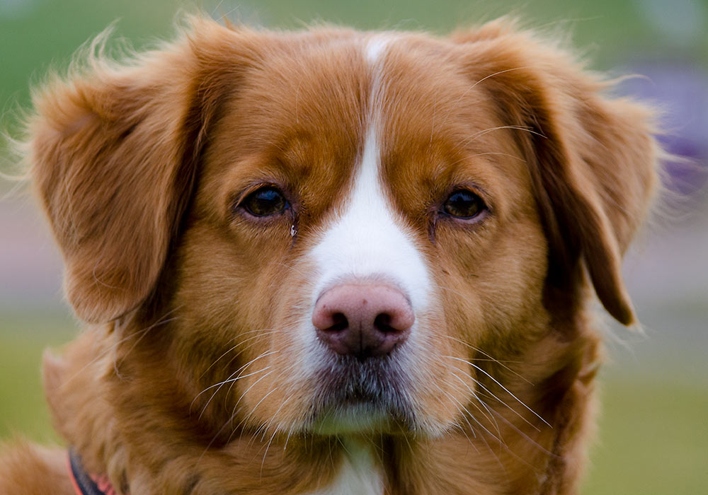 Laika (nova scotia duck tolling retriever)